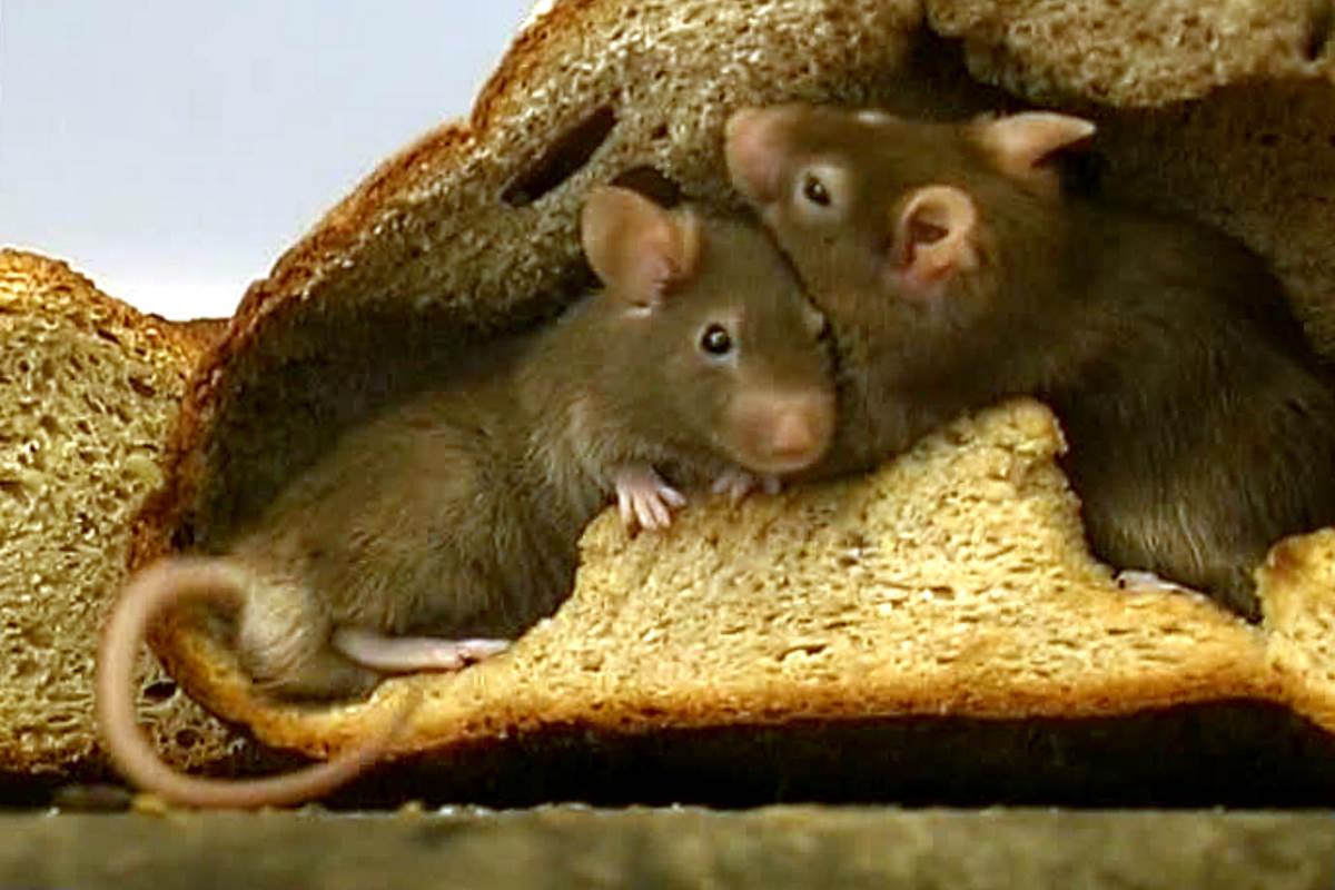 Attenzione alla spesa: spunta il pane al topo