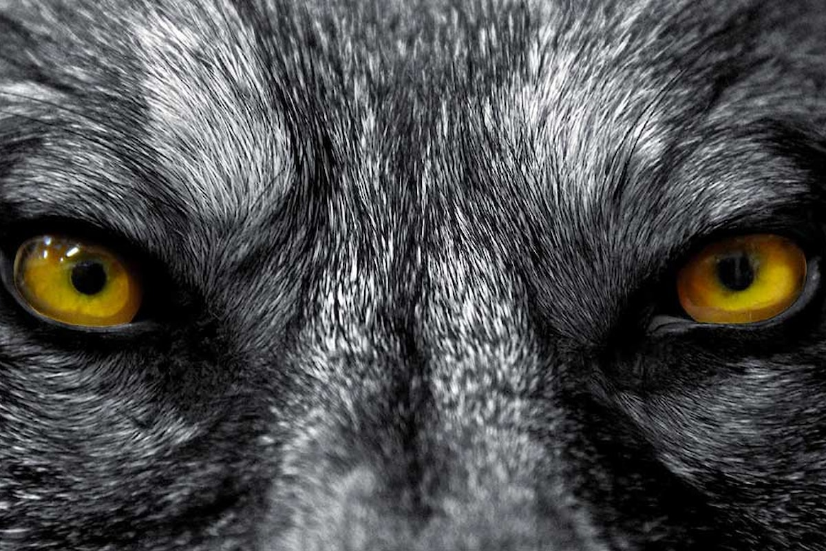 Imperversano i lupi in Lessinia, a Verona riunione in Provincia per fare pressing sul Governo
