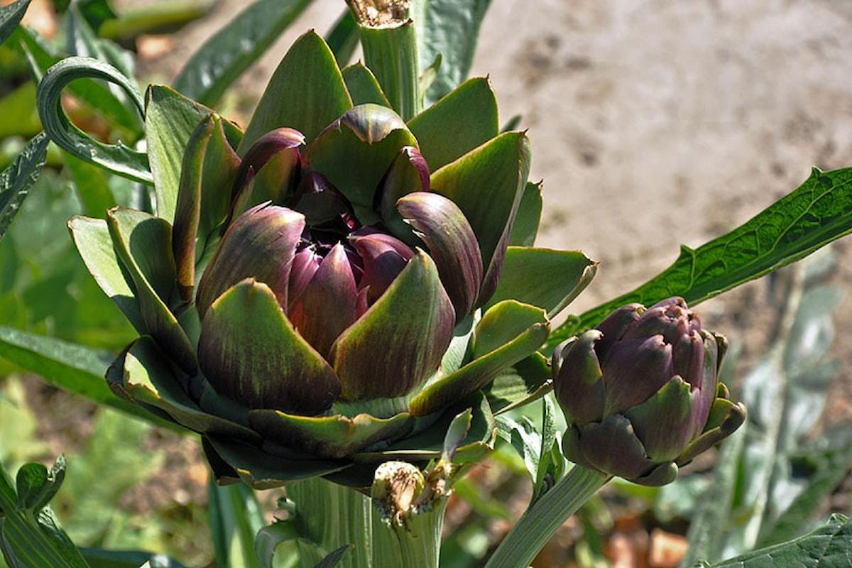 Le piante della salute, il Carciofo