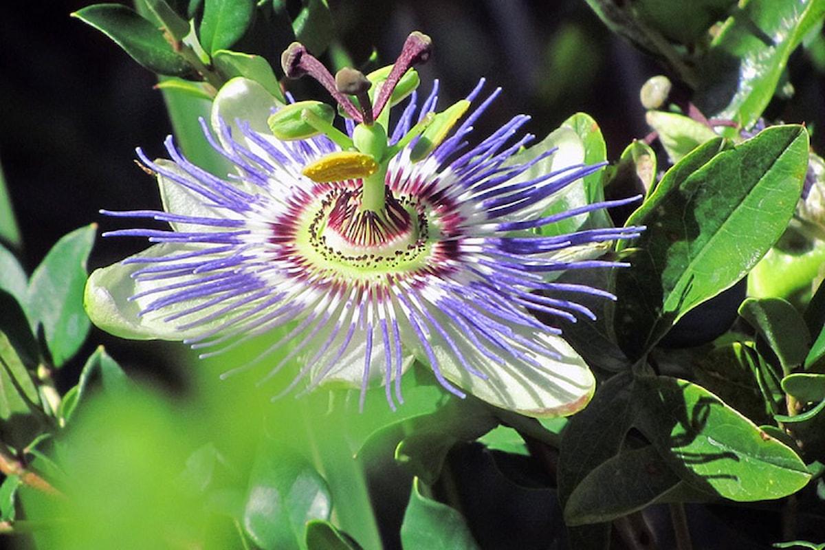 La Passiflora, la pianta rilassante che aiuta a riposare bene